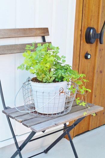 せっかく虫除けハーブを植えるなら、おしゃれな寄せ植えにして玄関に飾りたいですよね。ハーブを寄せ植えする時は、それぞれの品種の性質をチェックしましょう。水やり頻度や日当たり具合などが似たようなもの同士で寄せ植えにするとうまくいきやすいです。
