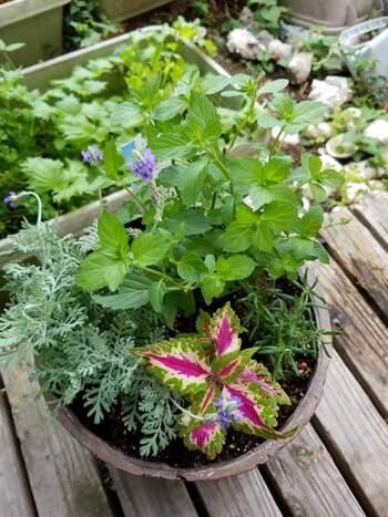 寄せ植えする時はバランスも考えましょう。高く真っ直ぐ伸びるもの、地を這うように伸びるもの、葉っぱの形や色などの組み合わせをイメージしておきます。ラベンダーなどの背の高いハーブを背景にして、段々と低くなるように植えるとバランスがいいですね。