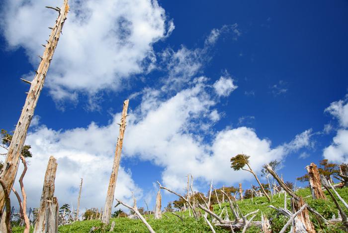 立ち枯れとなったトウヒの木が無数に並んでいる正木峠は、訪れる人に強烈な印象を与える独特の景色が広がっている場所です。約50年前まで、正木峠は豊かなトウヒの森が生い茂っていました。しかし、1959年に近畿地方を襲った伊勢湾台風によって森林が破壊されました。そのため、地表に日光が差し込むようになり、かつて地表を覆っていた苔が衰退し、笹が繁殖するようになったため、正木峠は現在のような姿となりました。