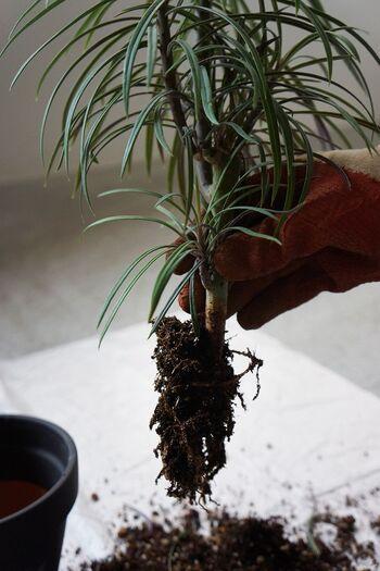 鉢底石を敷いたら、いよいよ植物の植え替えに入ります。プランターに入れる前に、土を優しく払い落とすのがポイント。根っこを引きちぎらないよう要注意です。