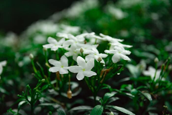 幸福感をもたらす香りとして知られているジャスミンと、精神的疲労の沈静に効果的と言われているライムは、ネロリと好相性。フローラル調の上品な香りのなかに、みずみずしいライムを調合することで、香りに奥行きが生まれます。2つの香りをネロリにブレンドすると、よりリラックス効果が高まりますよ。