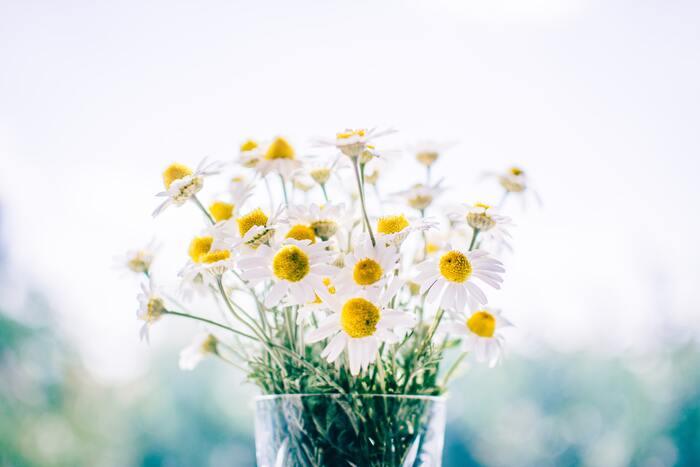 カモミールは、生花でも十分香りを楽しめます。ベッドサイドに数本のカモミールを置いて、ダイレクトに香りを楽しむのもアリです。