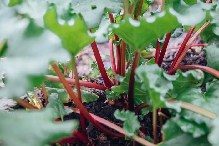 ルバーブを食べてみて気に入った方は、せっかくならお家でルバーブを栽培されてみてはいかがでしょうか。
