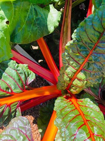 真っ赤なルバーブを目指すなら、酸性の強い土壌で育てる必要があります。日本では酸性が強い土壌は少ないので、ピートモスを加えて酸性土壌を作ってあげてくださいね。
