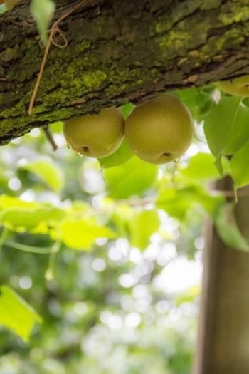 シャリシャリ食感がたまらない!季節の果物「梨」を美味しくいただこう