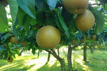 8月上旬から9月上旬に出回ります。甘味があり、食感もよく、水分が豊富でジューシー。とても人気のある品種です。