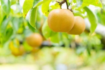 9月の上旬から10月の上旬に出回ります。甘味がしっかりあり、果汁がたっぷりで果肉が柔らか。比較的新しい品種なので知名度は低めで、知る人ぞ知る梨です。