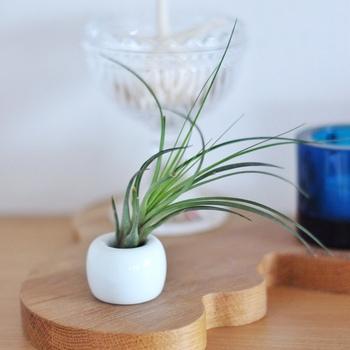 土がいらないエアプランツは、インテリアに取り入れやすい植物です。プランターに入れるにはサイズが小さい場合、歯ブラシスタンドに立てて飾るのがおすすめ!