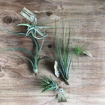 毎月だけでなく、隔週や毎週など定期的に届くサイクルも選べます。届く植物は、エアープランツやサボテン、観葉植物などを中心に、中にはちょっと変わった珍しい植物、ころっとしたキュートな植物など、面白い形のものや、育てやすいものなど、お店がセレクトしたセットが届きます。