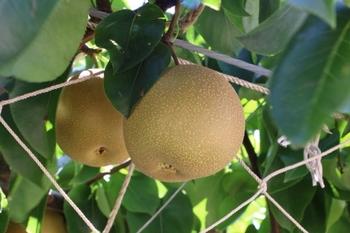 10月下旬から11月上旬に出回ります。独特の甘みと酸味のバランスが素晴らしい梨です。普通の梨の2.5~4倍の大きさがあり食べごたえがあります。