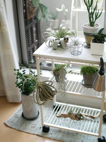 こちらでは、『洗剤・洗濯アイテム』で紹介したsarasa design storeの「nspキッチンワゴン」を、植物のディスプレイに活用しています。  ワゴンのホワイトとグリーンの相性も良く、おしゃれな空間に早変わり♪  正面についているバーは、霧吹きを引っかけたり植物を掛けたり、自由な発想が楽しめます。 日当たりが良い場所に移したいときや掃除中に動かしたいときにも、キャスターでコロコロと移動できのも便利です。