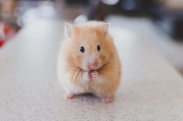 キンクマハムスターはゴールデンハムスターをベースに改良された品種です。クリーム色の体でかわいらしい見た目をしています。性格はのんびり&おっとりで、見ているだけで癒やされます。