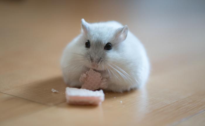 人間が食べる加工品はあくまで人間用で、ハムスターにとっては糖分や塩分が強すぎる場合があるので与えない方がよいでしょう。玉ねぎ、長ネギ、ニラ、ニンニク、チョコレートなど人間には無害でも、ハムスターにとって有害な食べ物が多数ありますので注意が必要です。