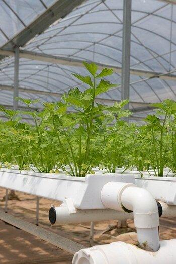 土を使わないため土づくりの手間がなくなり、同じ土壌を使用して繰り返し作付けすると栄養不足で育たなくなる連作障害などの心配が減ります。そのため、農業生産者にも特に葉物野菜の栽培などで採用されている方法です。さらに生長が早く、効率的に収穫できる点もメリットと言えます。