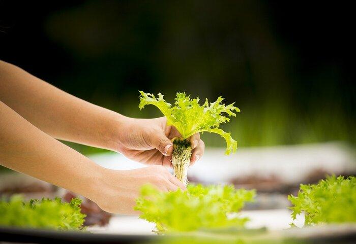 水耕栽培は、基本的な仕組みは土耕栽培と同じです。その名の通り、土と水のどちらを培地とするかが大きな違い。水耕栽培の場合は水と肥料をかけあわせた培養液に植物の根の部分をつけることが基本的なやり方で、そこから生長に必要な養分を吸収します。