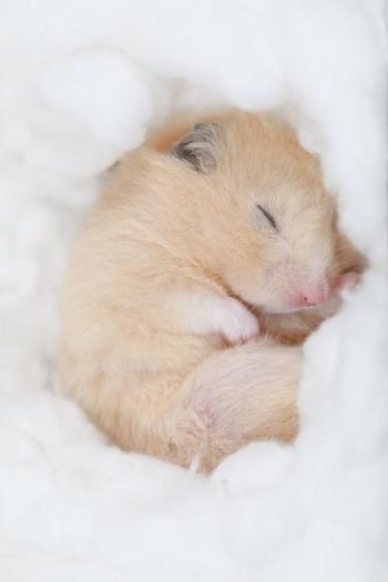 ハムスターは、眠っている姿がとってもキュート。大福もちのような姿で丸まって眠ったり、ひっくり返ってお腹を出して寝ていたり…と、さまざまな寝姿を見られるのも楽しみのひとつです。
