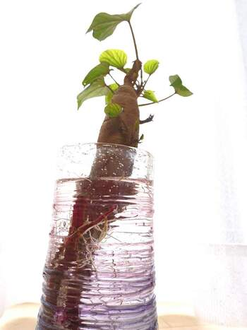 水耕栽培は根から水中に含まれる養分を吸収し葉を伸ばします。根は水中に接触していると、根が大きくなって食べる部分ができる根菜類はなかなか生長できないため、水耕栽培にはあまり向いていません。不可能ではないので、上級者はぜひトライしてみて*