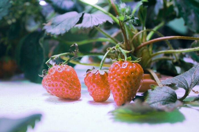 フルーツは苗から水耕栽培することになります。花が咲いた時に人工で受粉させるのがポイント。湿気や暗所は虫の発生につながり、また直接的な光は痛みの原因になるので、環境の設定に十分な注意が必要です。肥料の濃度が濃いと根が腐ってしまうので、肥料の配合や与え方も気をつけましょう。
