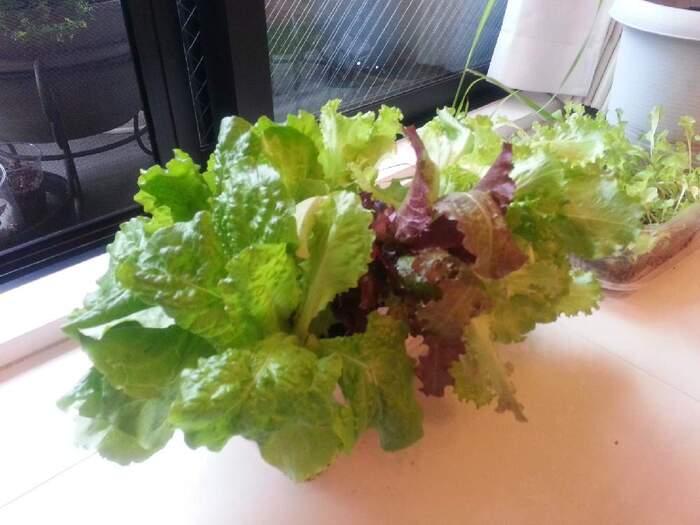 サラダに大活躍のレタスや、栽培が難しいとされる根菜のにんじんも、ペットボトルを使って水耕栽培できますよ。にんじんの水耕栽培は、三寸人参、ミニキャロットと言われる小さめサイズのにんじんがおすすめ。