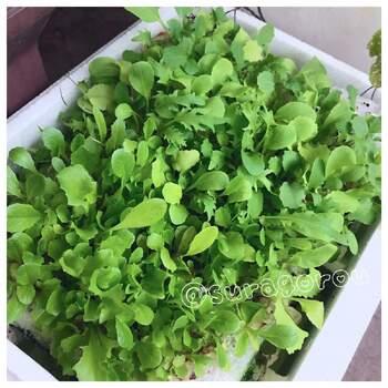 土を入れて大きめの鉢植え代わりになる発泡スチロールの箱は、水耕栽培にも使えますよ。穴を開けたフタを閉じて使い、フタの下には培養液と植物の根が、フタの上には葉がくるような栽培方法もできます。