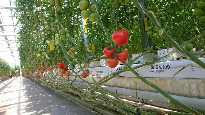 赤くジューシーなトマトもおうちで水耕栽培を。ポイントは、つるが長く伸びるので支柱を使うことと、こまめに水を取り替えしっかりと光を当てること。結実促進剤を使うと実がなりやすくなりますよ。