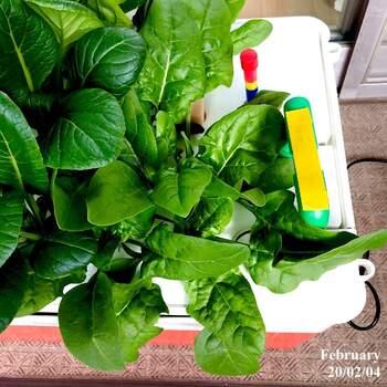 ほうれん草や小松菜など、おかずの主戦力として活躍してくれる栄養たっぷりの野菜も、水耕栽培で作ることができます。葉がぐんぐん大きくなる野菜たちなので、大きさにあわせて株分けして植え替えるようにしましょう。