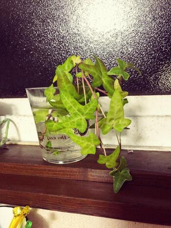 アイビーやポトスなどの観葉植物は茎を水につけておくだけでOK。水耕栽培でありつつ、そのままグリーンインテリアになります。初心者でも育てやすいのが魅力ですよ。