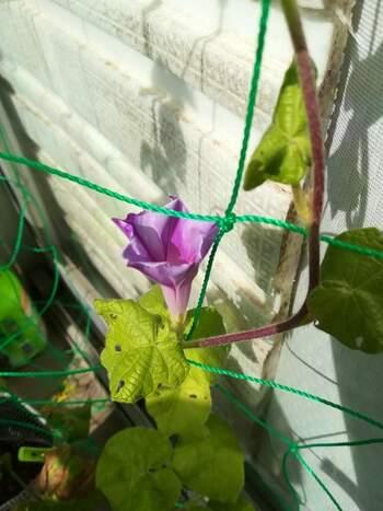 種から育てる朝顔。芽を出しつるがのび葉をつけ、やがて花が咲くまでの過程をゆっくりと楽しめますよ。比較的長い期間花をつけ、最後には種がとれるのでまた育てられます。