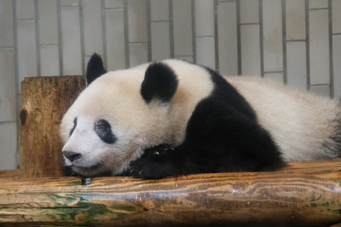 ジャイアントパンダ「シャンシャン」の誕生でさらに人気が高まっている「上野動物園」。広大な上野恩賜公園の一角にあるので、自然の中でのんびり過ごせます。小動物と触れ合えるなど、お子さんが楽しめるイベントもいろいろありますよ。