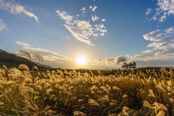 夕暮れどきの曽爾高原の美しさは傑出しています。夕陽を浴びて金色に輝くススキの穂が果てしなく続き、昼間とは異なる幻想的な景色が現れます。