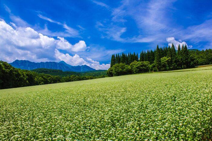 戸隠流忍者の里、「天の岩戸」伝説の舞台でもある戸隠高原は、吾妻山、戸隠山などから成る戸隠連邦に中腹に広がる高原です。季節によっては、なだらかな傾斜となっている高原一帯にそばの花が一面に咲き誇る美しい景色を臨むことができます。