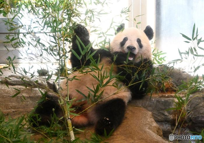 上野といえばやっぱり上野動物園はマスト♪上野動物園の不動のアイドルといえばパンダですが、2020年9月に「パンダのもり」がニューオープンしました!ジャイアントパンダのリーリー&シンシン・2頭のレッサーパンダ、キジ類がふるさとの四川省をモデルにした飼育施設のなかでのびのびと過ごす様子を観覧できます。