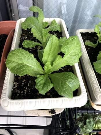 メリットいっぱい!〈秋のベランダ家庭菜園〉プランターで育てやすい野菜は?