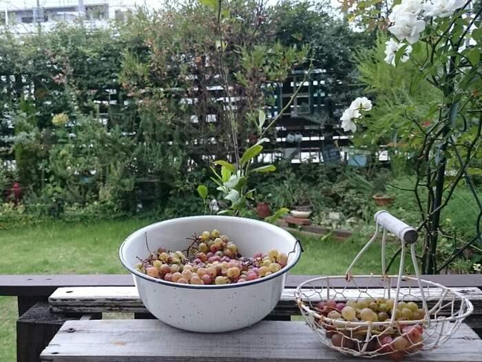 ガーデニングで育てたデラウェア。実がなる果実は、見た目もとても可愛くて雰囲気が出ますね。そのうえ食べられるなんて最高!