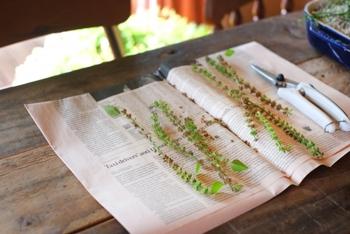 種を採取したい場合は、花が咲き花びらが散ったあと、花穂を乾燥させてから種を収穫します。採取した種は、翌年に再び栽培するための種として再利用できるので、冷暗所で保管しておきます。 また、今注目のスーパーフード「バジルフード」として、さまざまな料理に活用することもできます。葉だけでなく蒔く用の種として、また食べられる種としても楽しめて一石三鳥ですね!