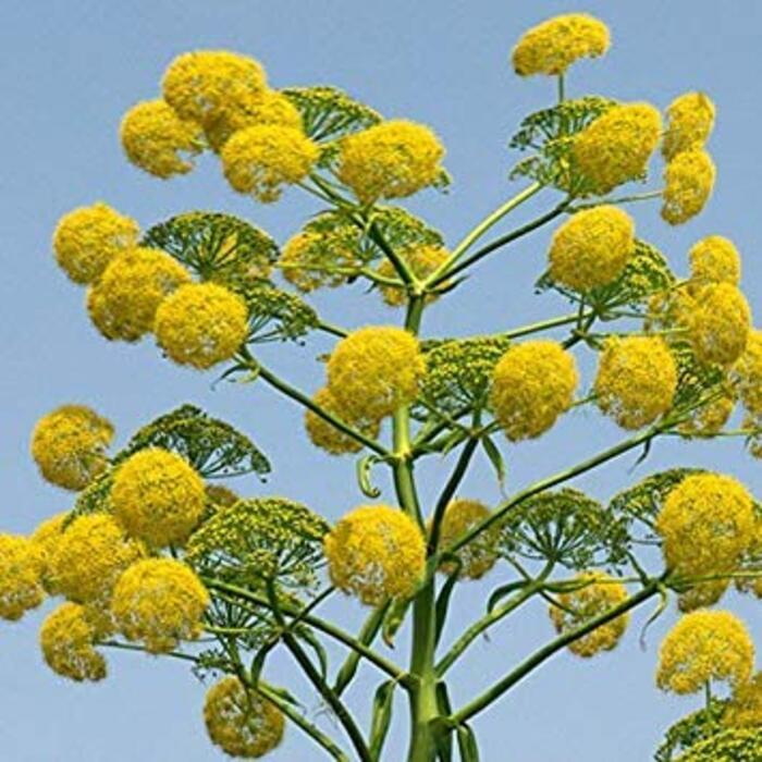 PLAT会社-SEEDS植物の世界の種子 - オオウイキョウの種子