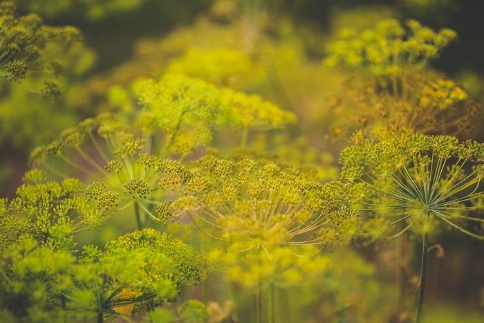 実はフェンネルには名前ではなく見た目がそっくりな「ディル」と言うハーブがあります。お花、葉っぱ共にそっくりで、一目見ただけでは区別がほとんど出来ないくらい似ています。2種類の葉っぱを並べてみると、ディルの方が葉が細いのですが、それも混ぜてしまうと分からないかもしれません。