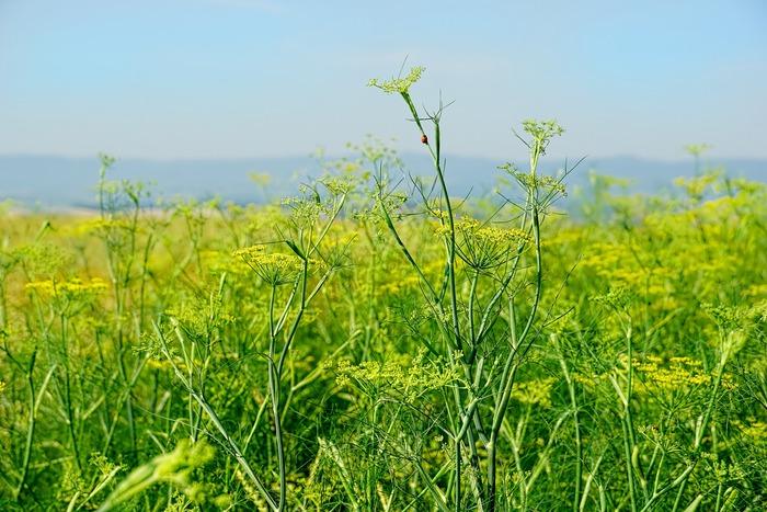 柔らかな印象と甘い香りで見ているだけでも素敵なフェンネル、葉・茎・花・種子、その全てがお料理やオイルとして使える優れものでもあります。
