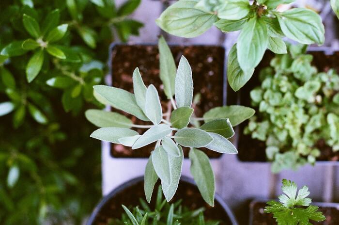 ハーブの語源は、草を意味するラテン語「Herba(ヘルバ)」とされていて、日本語では香草、薬草と言う意味もありますが、今ではハーブという言葉自体が日本語として定着していますね。健康や美容に役立つ植物として活用されていて、ラベンダーやローズマリーなどは広く知られている存在です。