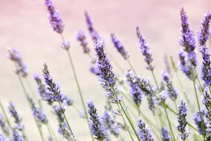 エッセンシャルオイルとも呼ばれる精油。自然植物の花や葉、種などから採取される液体で、その植物の香りが凝縮されています。天然成分100%のものだけが精油と呼ばれ、人工的に作られた混ぜられたオイルとは区別されています。