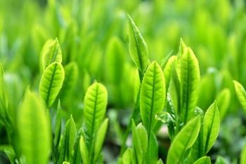 緑茶に含まれる、アミノ酸の一種「テアニン」は、お茶の甘みを構成するうまみ成分。このテアニン、おいしさに作用するだけではなく、リラックス効果も認められています。  興奮状態から心を落ち着かせてくれる飲み物としても、お茶はおすすめです。