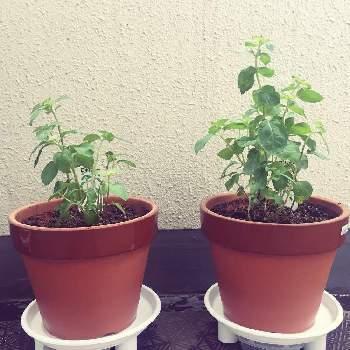 ミントはとても繁殖力の強いハーブ。どんどん増えるので、地植えの場合は他の植物との兼ね合いもよく考えましょう。増えすぎると困るなら鉢植えがおすすめ。プランター1つにつき1種のミントを植えると植え替えもラクにできます。