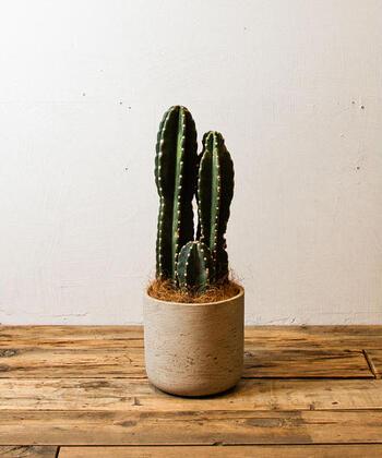 こちらは、株の根元や途中で分岐する「鬼面角」という品種。凛々しい姿が印象的です。この他に、茎の分岐が見られず白い毛に覆われた「翁丸」や、単幹の上部で分岐する「弁慶柱」などが、柱サボテンの代表的な品種です。