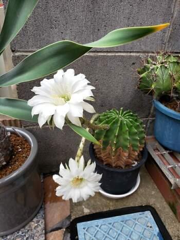 その名の通り、トゲが短いのが特徴のエキノプシス属「短毛丸」。成長が早いうえに、高温多湿を好み、寒さにも強く日本の気候と相性がよく育ちやすいサボテンなので、初心者にもおすすめです。開花時期は5月から10月と長く、強い芳香性のある白いきれいな花を咲かせます。