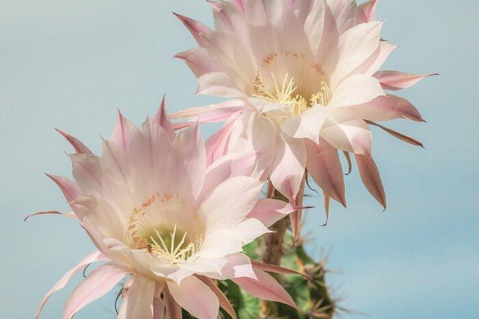 サボテンの中には綺麗な花を咲かせる「花サボテン」と呼ばれる種類があります。こちらは、丸みを帯びて反り返ったまるで象牙のようなトゲが特徴のコリファンタ属「象牙丸」。高温多湿、寒さにも強くて育てやすいサボテンで、夏の終わり頃になると、ピンク色の大きく綺麗な花を咲かせます。大輪が美しい。