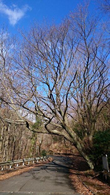 """樹林の山道を進みしばらくすると、車道に出ます。そこにあるのが、頼朝公に由来する""""都夫良野の「頼朝桜」""""。  【12月下旬の「頼朝桜」。明治期に台風で倒壊。現在の桜木は、蘖(ひこばえ/切り株や根から生えたもの)が成長したもの。】"""