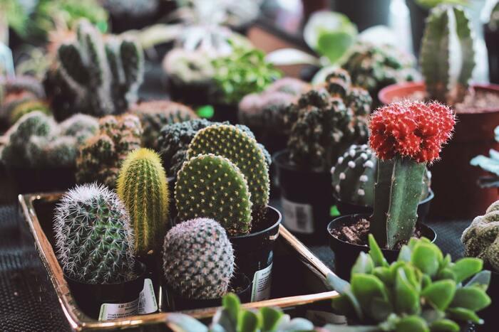 水をあげる回数が他の植物に比べて少なく、育てやすいといわれるサボテン。サボテン科に属する多肉植物の1種で、家に飾るだけでおしゃれで、置く場所を選ばないので、お部屋のインテリアとしても活躍します。