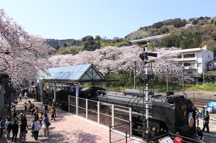 """駅南側の「鉄道公園」には、鉄道ファン、子供連れの方は必見のスポットです。『D5270蒸気機関車』が、常設展示されています。通常は、月一回、整備運行が実施されていますが、日程その他の詳細は、山北町観光協会HPで随時発表されていますので、出掛けるのなら事前に確認してみましょう。  【例年山北町では桜の季節(3月下旬頃~4月初旬頃)になると「やまきた桜まつり」が開催される。鉄道公園はそのメイン会場となり、期間中は模擬店が様々に並び、イベントが開催される。""""桜まつり""""詳細、開催の有無についても山北町のHPへ。(画像は3月下旬の頃、桜まつり開催中の鉄道公園)】"""