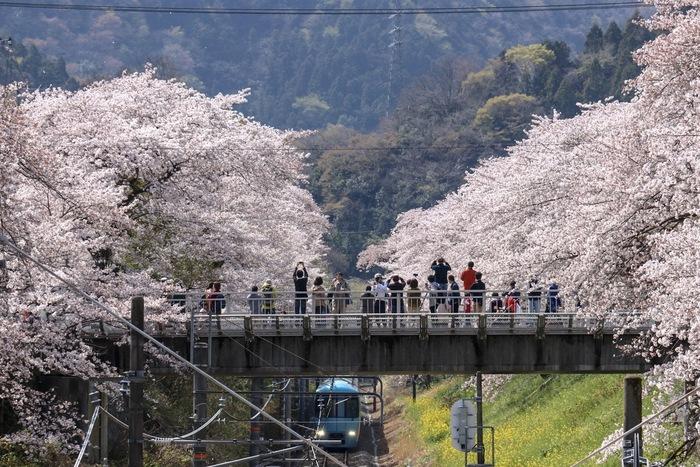 """【山北駅周辺は""""桜の名所""""として名高く、その見事な景色をを撮影しに数多くの鉄道ファンが遠方から訪れる。(画像は、菜の花と満開の桜の頃の御殿場線・山北駅近くの架橋)】"""