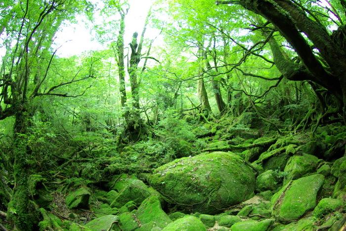 ジブリが好きな人にぜひ行ってもらいたいのが「白谷雲水峡(しらたにうんすいきょう)」。ここにある「苔むす森」はもののけ姫のシシ神の森のモデルになったとされていて、「もののけの森」とも呼ばれています。宮崎駿監督やジブリのスタッフも実際に取材に訪れています。